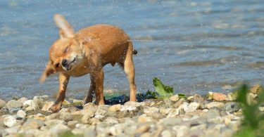 The owner's guide to swimming with Chihuahuas.