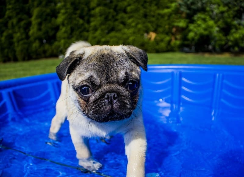 A Pug swimming in the pool. Can they swim?