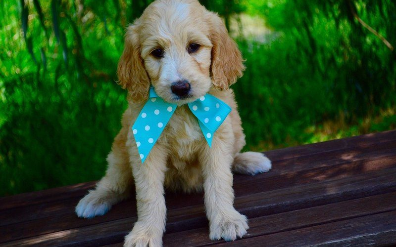A guide to Goldendoodle shedding with tips by real owners.