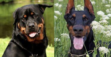 A detailed comparison between the Rottweiler and Doberman Pinscher.