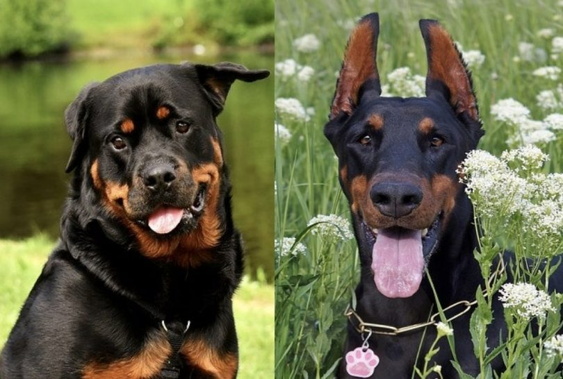 A detailed comparison between the Rottweiler and Doberman Pinscher.