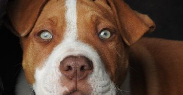 A complete guide to all pitbull type dog breeds.