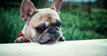 Are Frenchies smart dogs?