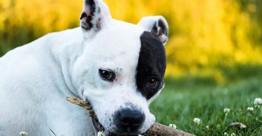 A guide to the intelligence of Pit bulls.