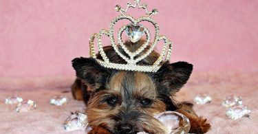 A detailed guide into Yorkshire Terrier shedding.