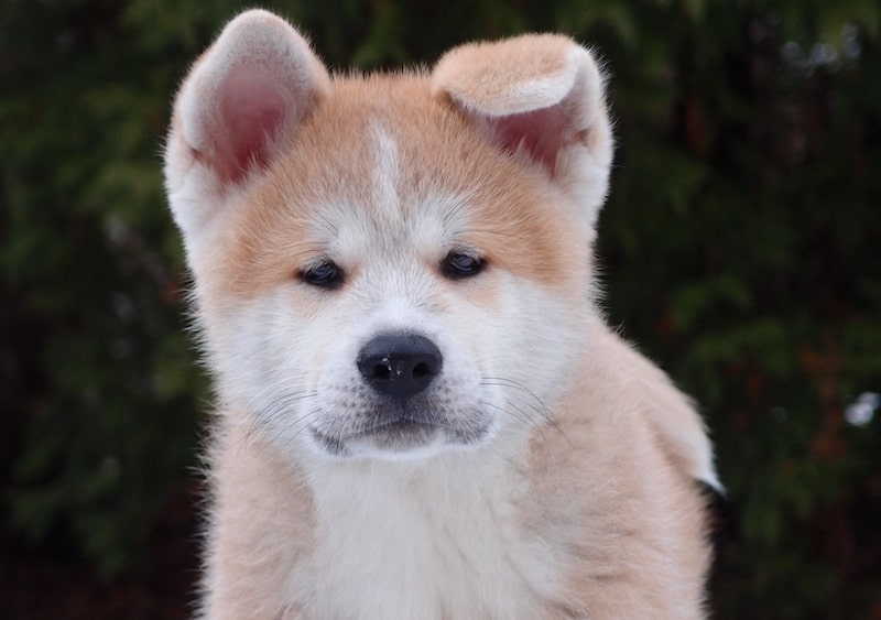 Hokkaido dog is a japanese breed from the northern region of japan.