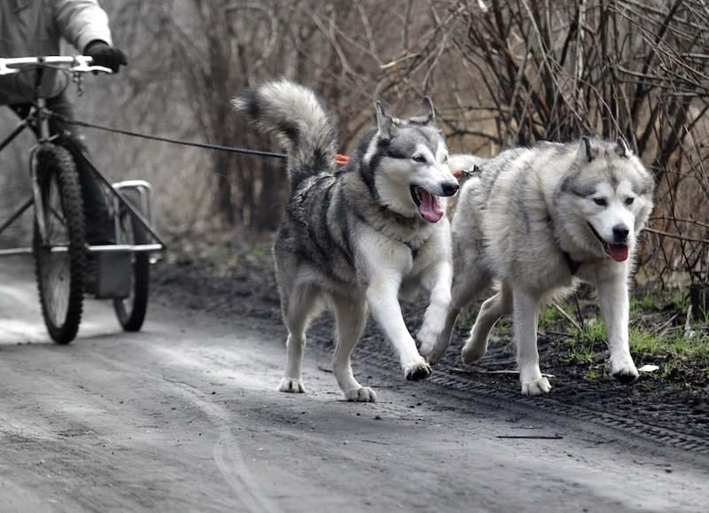 The key differences and similarities between an Alaskan Malamute and Siberian Husky.