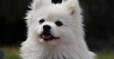 The typical white spitz dog.