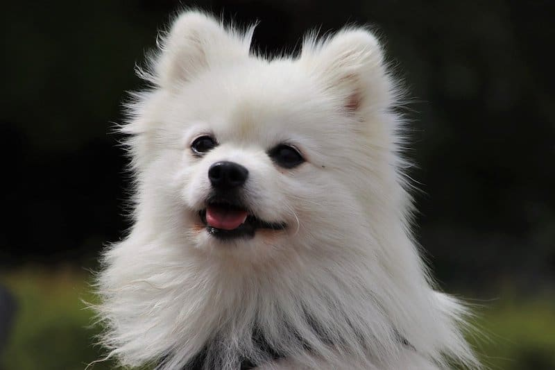 The typical white spitz dog.
