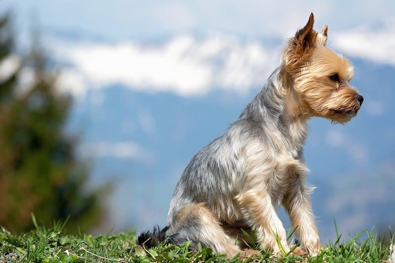 A detailed look into what Yorkies were bred for.