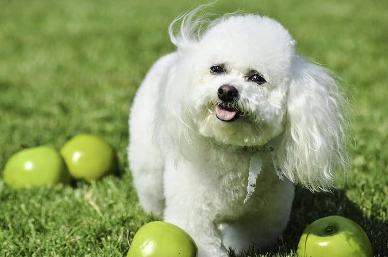 How smart are Bichon Frises?