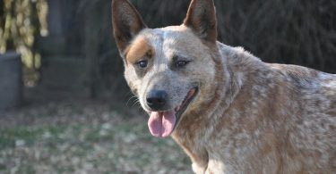 A guide to the Australian Cattle Dog's intelligence.