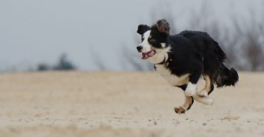 Here's how much exercise Border Collies need.