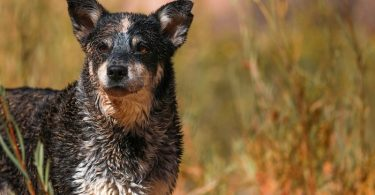 The owners guide to Blue Heeler shedding.