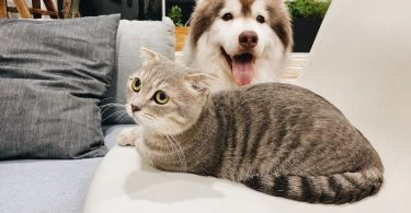 The cat owner's guide to raising Huskies with cats.