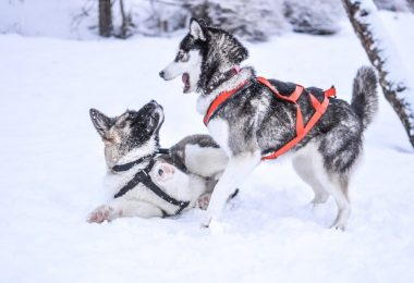 How much exercise do Huskies really need?