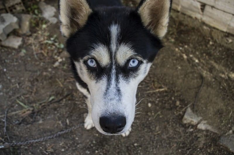 "The reasons why Huskies will howl and ""talk."""