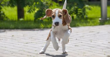 Here's why Beagles are more difficult to train.