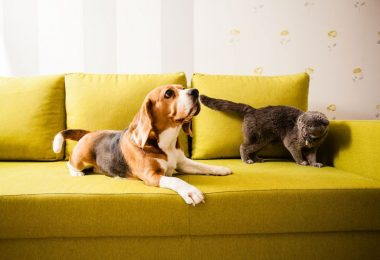 A Beagle with a cat.