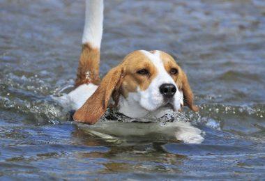 Here's why Beagles can swim well.
