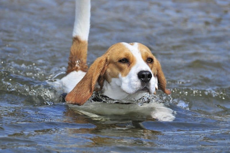 Here's why Beagles can swim well.