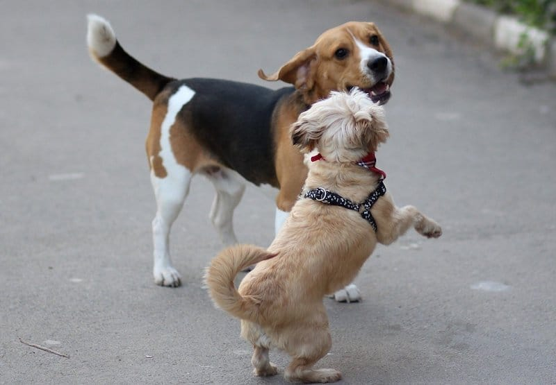 Here's why Beagles get along with other dogs.