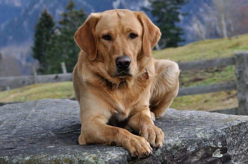How good of a guard dog do Golden Retrievers make?
