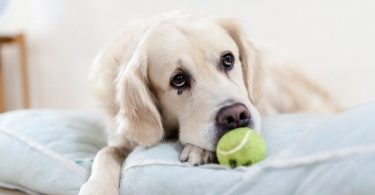 Here's how Golden Retrievers are with obedience training.