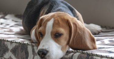 The owner's guide to Beagle prices.
