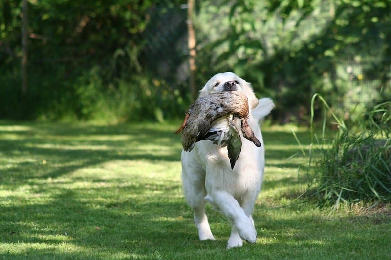 Here's what Golden Retrievers were developed for - retrieving small game.