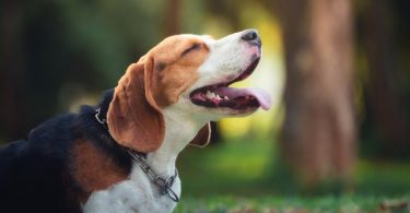Reasons why Beagles love to howl.