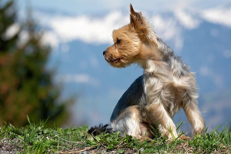 A look at the best Yorkie mixes in the world.
