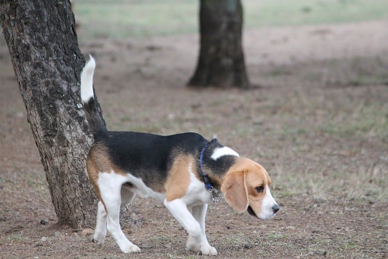 A guide to the Beagle's incredible nose.