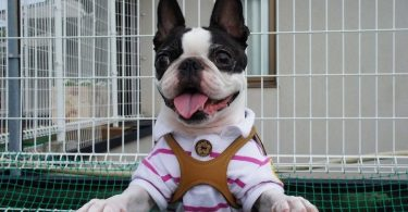 An excited Boston Terrier ready to play with kids.