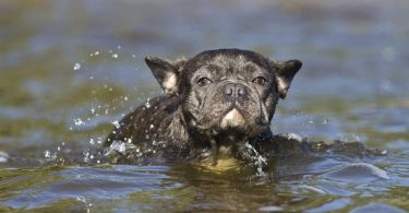 A French Bulldog swimming.