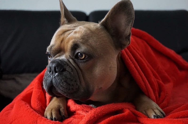 Do French Bulldogs Shed 5 Reasons