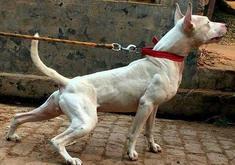 21 Exotic Indian Dog Breeds All Dogs Of India
