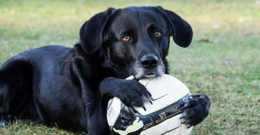 A Labrador Retriever patiently waiting with his ball for some exercise time.