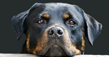 The classic Rottweiler color - black and tan.