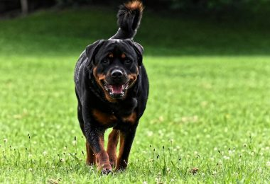 A rare Rottweiler that retained his tail.