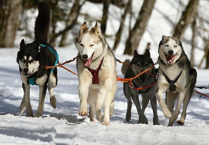 Huskies bred to pull sleds doing their jobs.