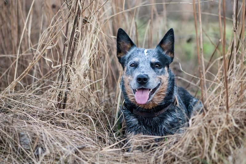 Beautiful Blue Heeler mixed breed.