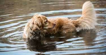 A Golden Retriever swimming in the lake.