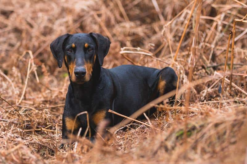 A Doberman Pinscher mix sitting in the field.