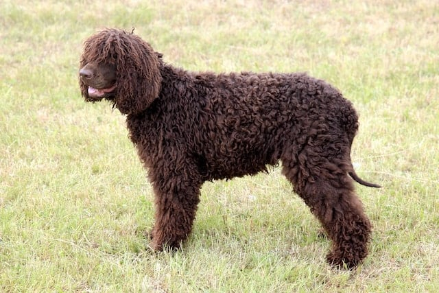 25 Superb Spaniel Breeds - The Complete List of Spaniel Dogs