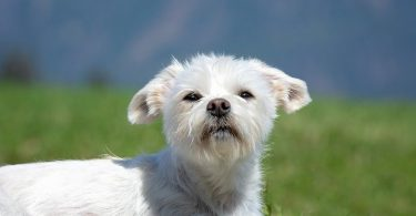 A Maltese mix sitting in the field.