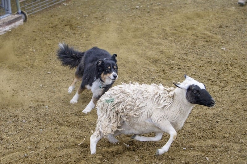 An Australian Shepherd herding sheep.