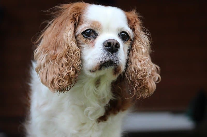 The Cavalier King Charles is the most popular spaniel breed.