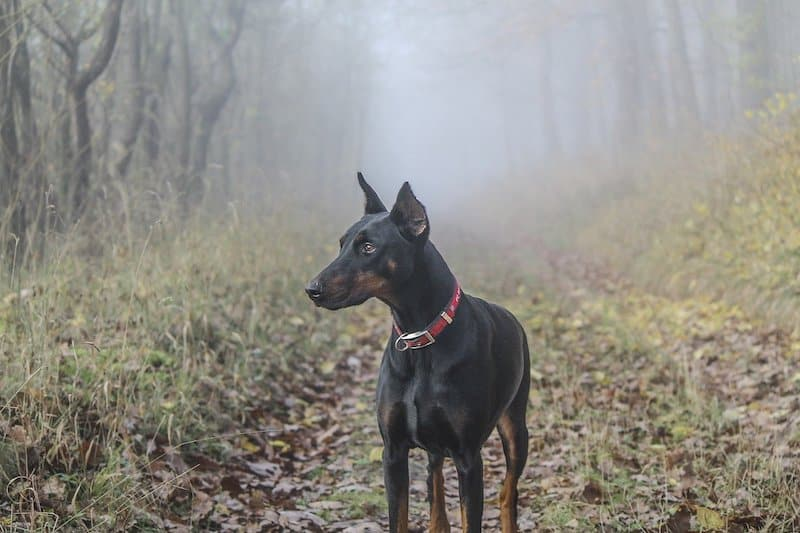 A loyal Doberman Pinscher bred to protect and guard.