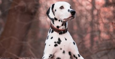 A Dalmatian getting ready to play with kids.